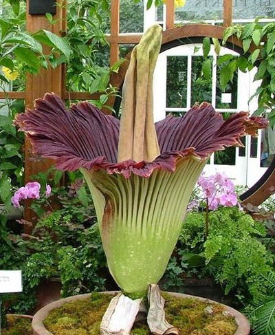 Amorphophallus Titanium flower